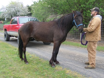 Picture of black-brown mare, side view.