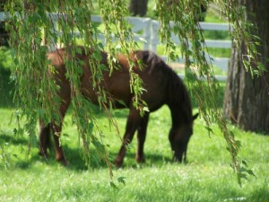 Picture of bay horse under a weeping birch tree.