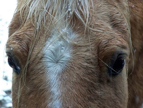 Picture of horse's face with snow dripping off forelock.